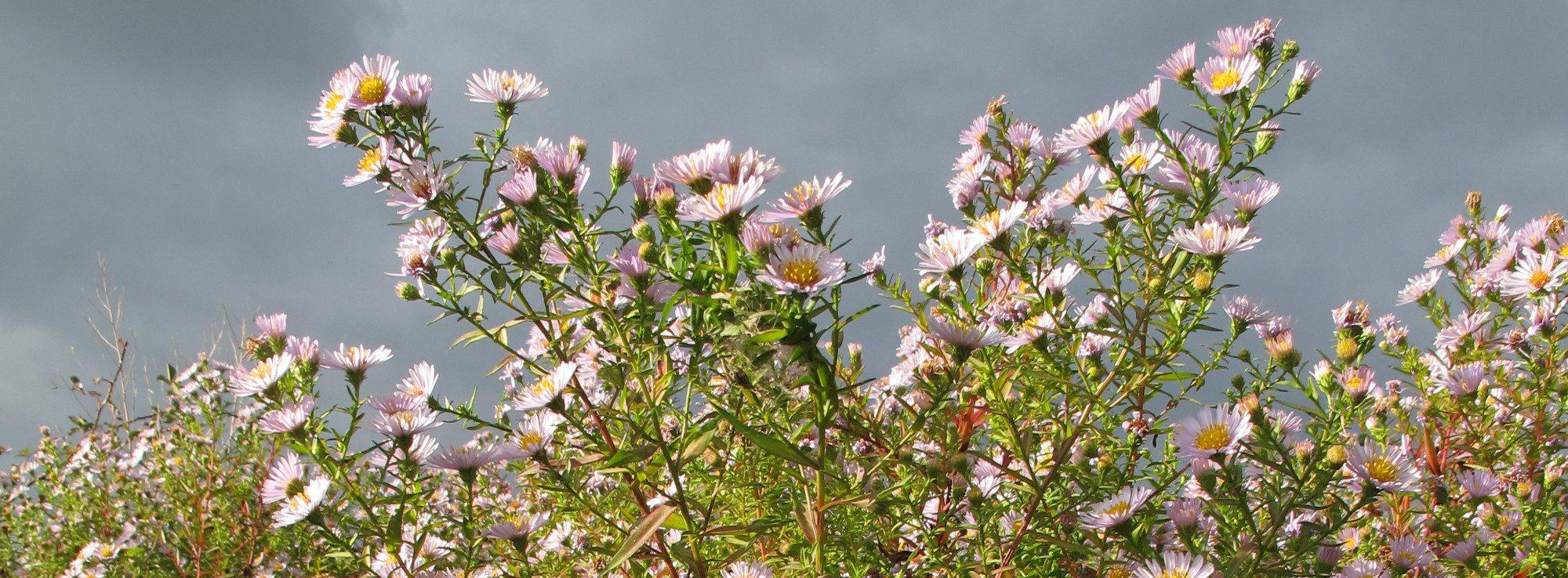 Glattblatt-Herbstaster