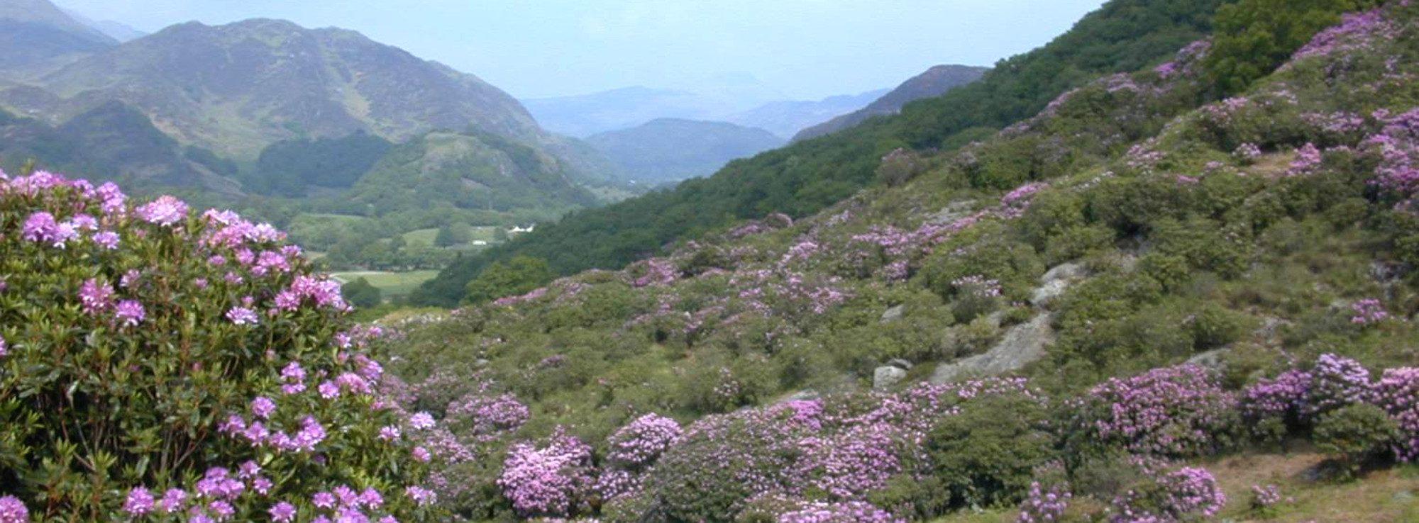 Pontischer Rhododendron