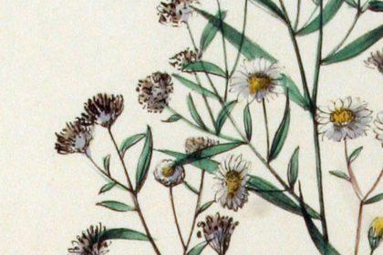 Weidenblatt-Herbstaster