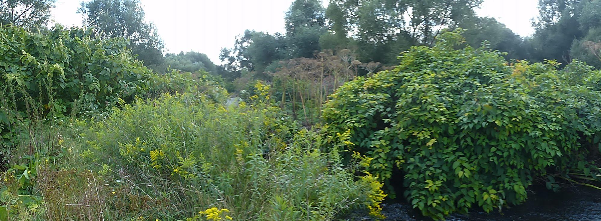Invasive Neophyten in Sachsen-Anhalt