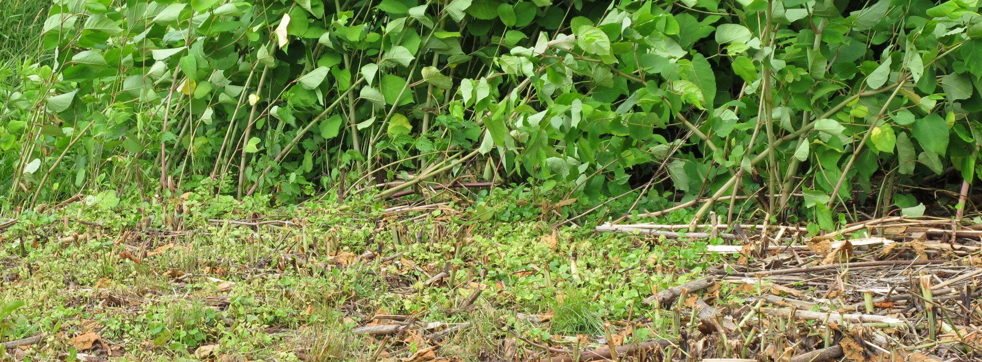 Maßnahmen gegen Staudenknöteriche